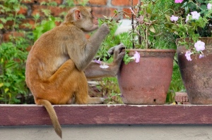 Monkey eating flowers