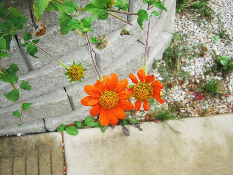 Orange flowers, stones