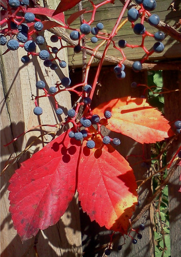 Virginia Creeper Leaves & Berries